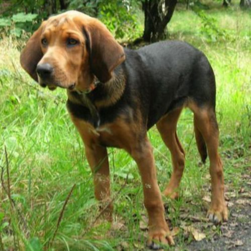 polish hound