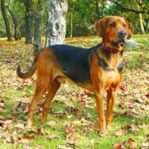 polish hound dog