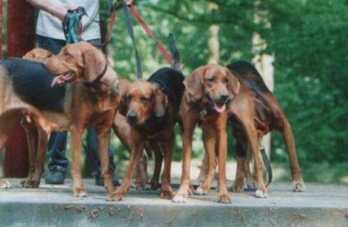 polish hound dogs