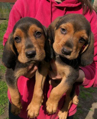 polish hound puppies