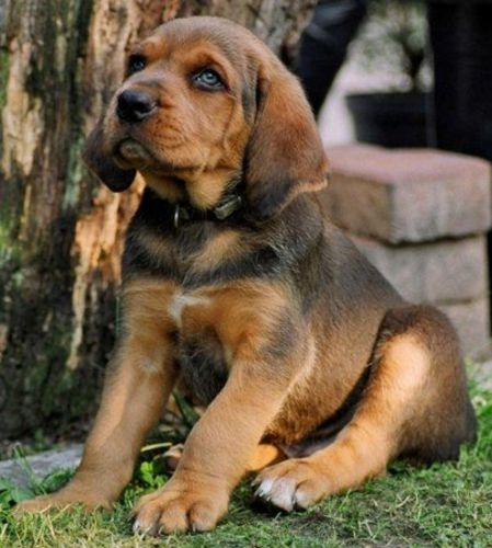polish hound puppy