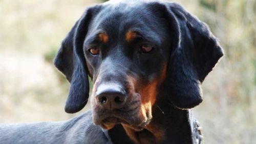 polish hunting dog