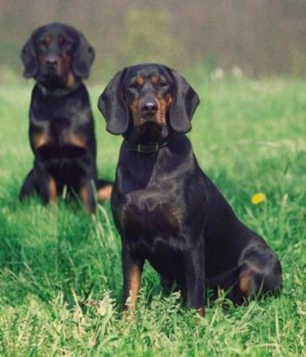 polish hunting dog dogs