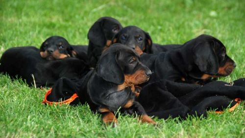 polish hunting dog puppies