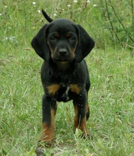 polish hunting dog puppy