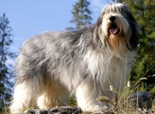 polish lowland sheepdog dog