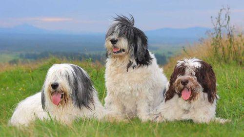 polish lowland sheepdog dogs