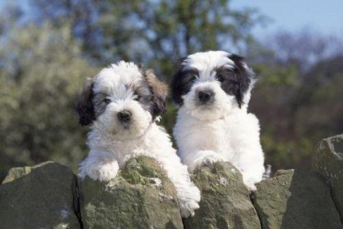 polish lowland sheepdog puppies