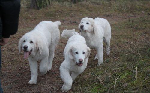 polish tatra sheepdog dogs