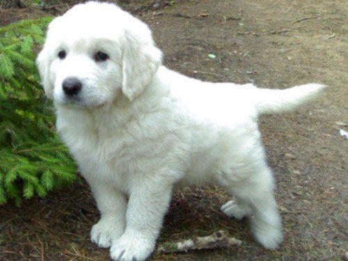 polish tatra sheepdog puppy