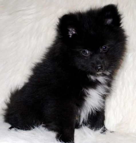 pomeranian breeders va pomeranian puppies for sale virginia beach va 189536 1352