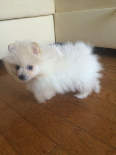 pomeranian breeders va pomeranian puppies for sale ashburn va 190423 petzlover 6056