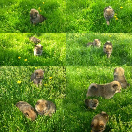 Pomeranian Puppies for sale in Oak Park, IL, USA. price 700USD