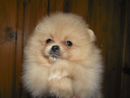 pomeranian puppy chicago pomeranian puppies for sale chicago il 197070 petzlover 5158