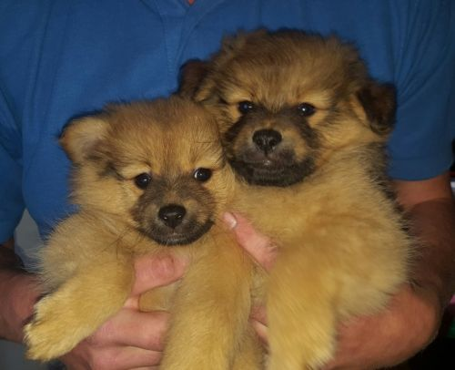 pomeranian puppy chicago pomeranian puppies for sale chicago il 197622 petzlover 8214