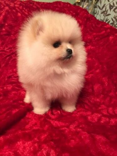 pomeranian for sale in sc pomeranian puppies for sale columbia sc 197755 petzlover 2731