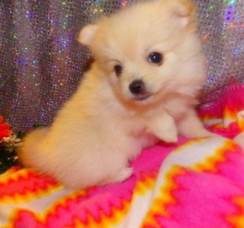 pomeranian breeders michigan pomeranian puppies for sale ann arbor mi 197173 3660