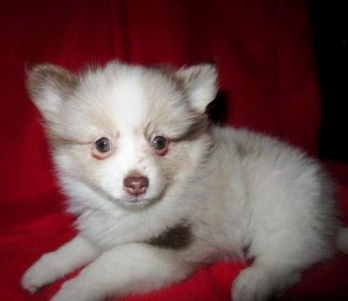 teacup pomeranian for sale in ky pomeranian puppies for sale nicholasville ky 196977 3845