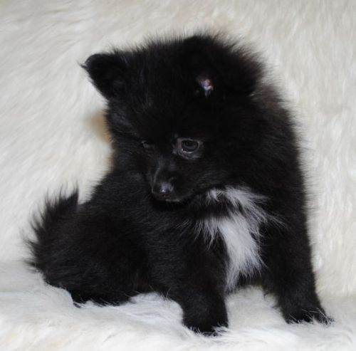 teacup pomeranian for sale in ky pomeranian puppies for sale nicholasville ky 196977 8229