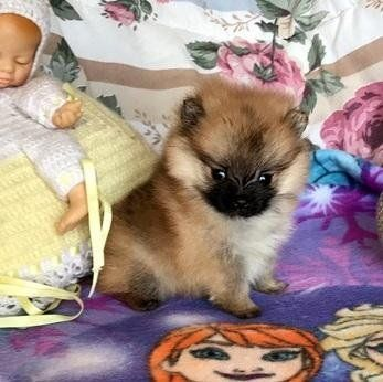 pomeranian breeders in tn pomeranian puppies for sale lexington ky 197299 7456