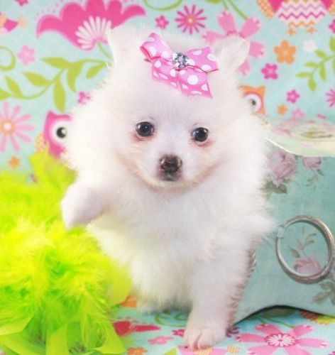 Pomeranian puppies for sale in austin tx
