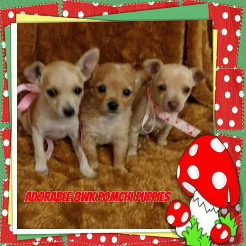 Teacup Pomeranian Puppies For Sale In Oregon