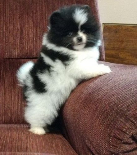 pomeranian breeders in pa pomeranian puppies for sale philadelphia pa 199718 8752