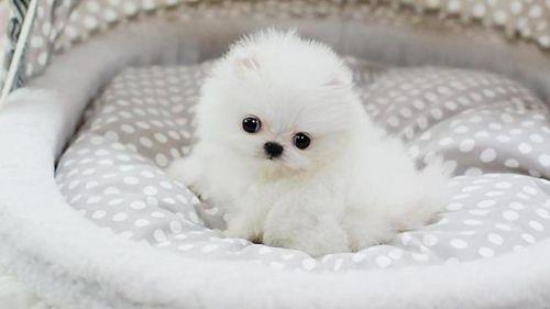 pomeranian puppies sale