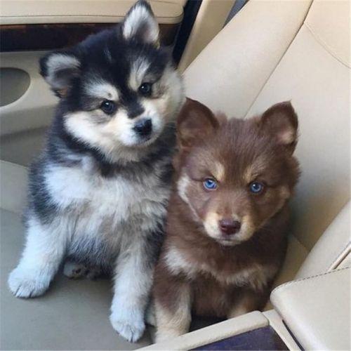 pomsky dogs