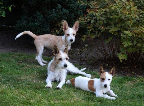 portuguese podengo dogs