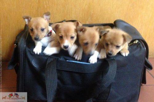 portuguese podengo puppies