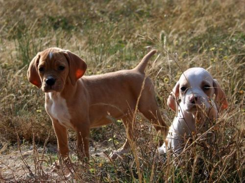 portuguese pointer puppies