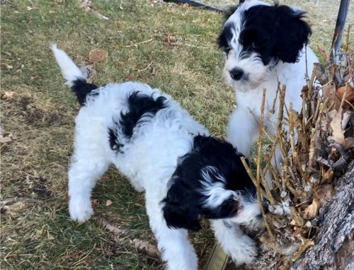 Portuguese Water Dog For Sale Price