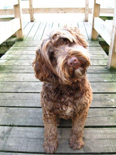 Portuguese Water Dog Vs Bernedoodle
