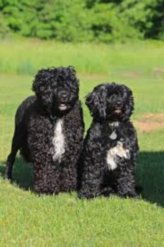 portuguese water dog dogs