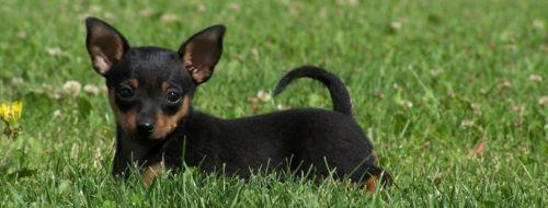 prazsky krysarik puppy