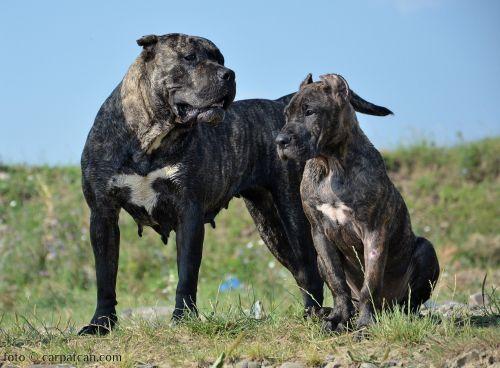 presa canario dogs
