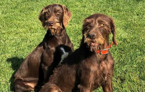 pudelpointer dogs