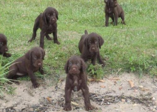 pudelpointer puppies