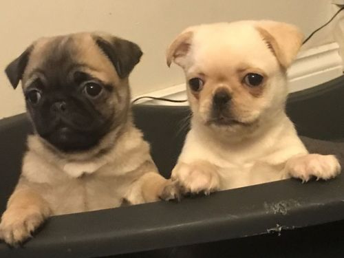 Z Gallerie Pug female pug puppies for...