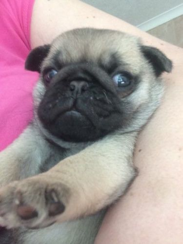 pug puppies for sale in indiana