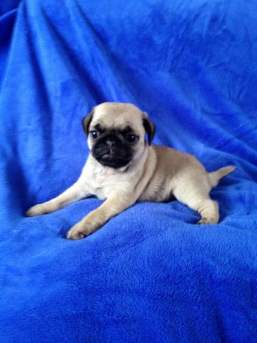 Black Pug For Sale In Az 55