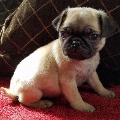 Black Pug For Sale In Az 13