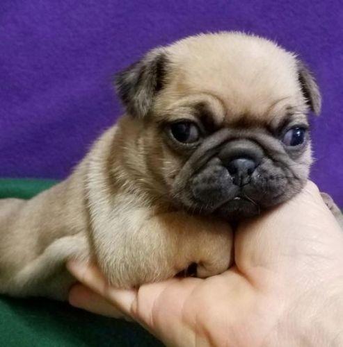 Black Pug For Sale In Az 93
