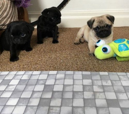 pug puppy florida pug puppies for sale jacksonville fl 199952 petzlover 3761