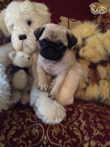 pug puppy florida pug puppies for sale jacksonville fl 199952 petzlover 1493
