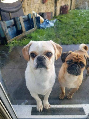 pugalier dogs