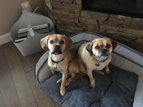 puggle dogs