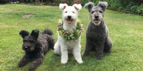 pumi dogs