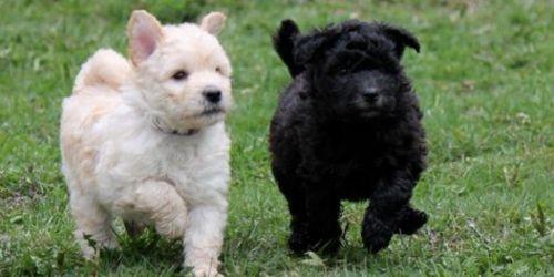 pumi puppies